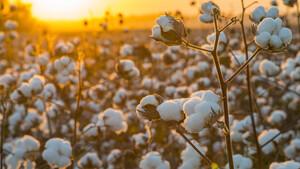 Baumwolle‑Future: Die Spannung steigt – was jetzt wichtig ist  / Foto: Shutterstock