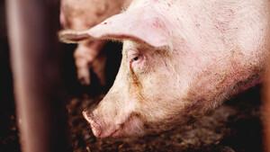Vorsicht, Schweinepest! Top‑Tipp Tyson Foods vor Rallye