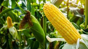 Mais Update: Das Wetter lässt die Farmer zittern – wie weit steigt der Kurs?