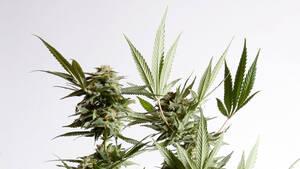 Einmal investieren, 10x profitieren ‑ Cannabis‑Index