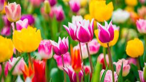Die erste große Blase: Tulpen‑Wahnsinn in Holland