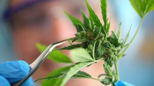Cannabis‑Aktien: Diese Highflyer gibt's ganz legal