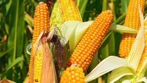 Rohstoffe: Mais‑Future auf höchstem Stand seit 2014