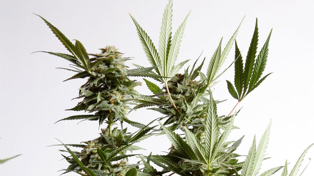 Dermapharm: News zur Cannabis-Beteiligung FYTA – hier wächst etwas heran